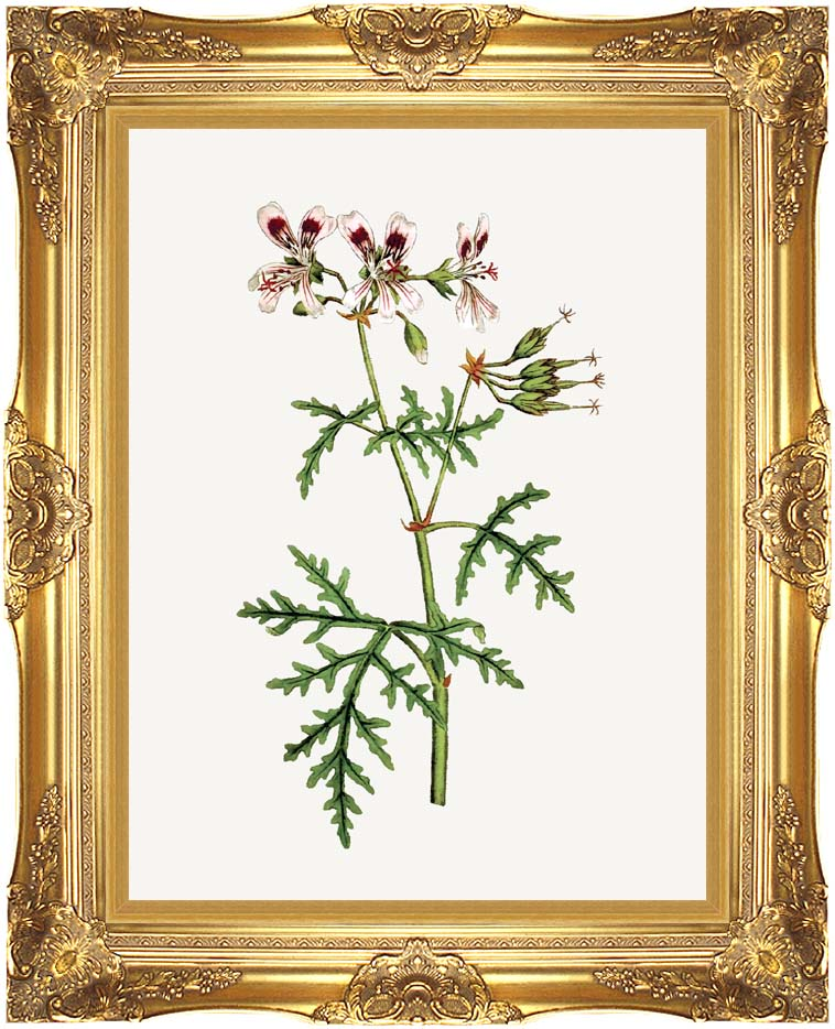 William Curtis Rasp-Leaved Geranium with Majestic Gold Frame