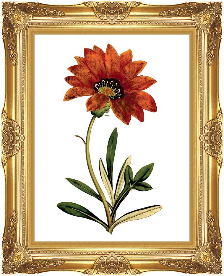 William Curtis Rigid-Leaved Gorteria with Majestic Gold Frame