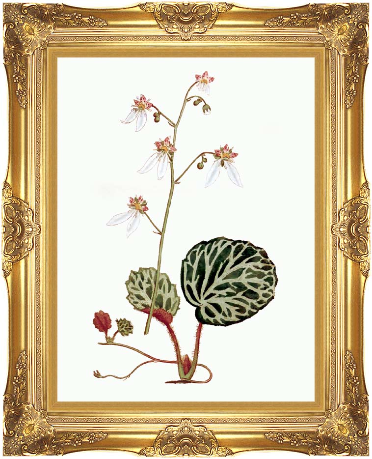 William Curtis Strawberry Saxifrage with Majestic Gold Frame