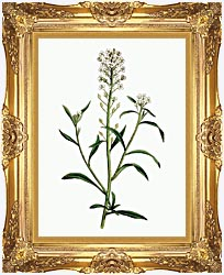 William Curtis Sweet Alyssum canvas with Majestic Gold frame