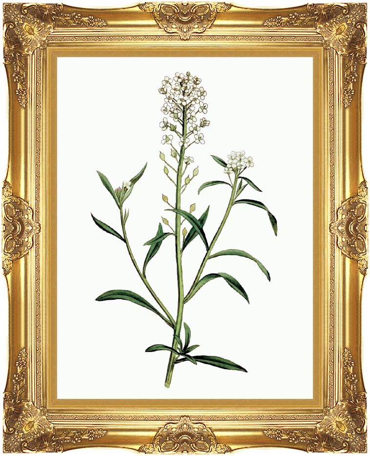 William Curtis Sweet Alyssum with Majestic Gold Frame