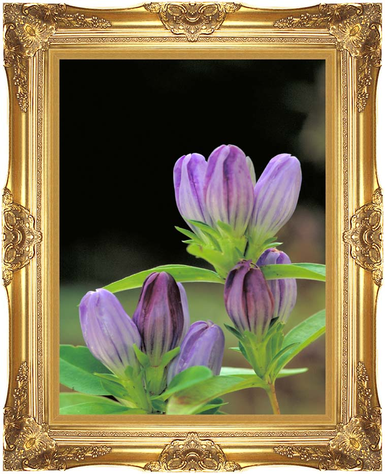 U S Fish and Wildlife Service Andrew's Gentian with Majestic Gold Frame