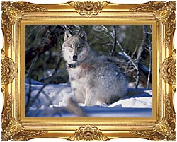 U S Fish And Wildlife Service Gray Wolf In Snow canvas with Majestic Gold frame