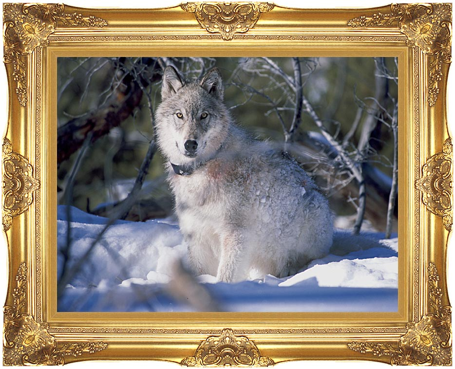 U S Fish and Wildlife Service Gray Wolf in Snow with Majestic Gold Frame