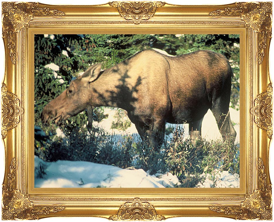U S Fish and Wildlife Service Grazing Moose with Majestic Gold Frame