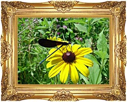 U S Fish And Wildlife Service Ebony Jewelwing On Black Eyed Susan canvas with Majestic Gold frame