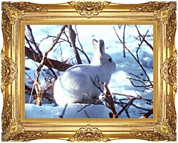 U S Fish And Wildlife Service Artic Hare Rabbit canvas with Majestic Gold frame