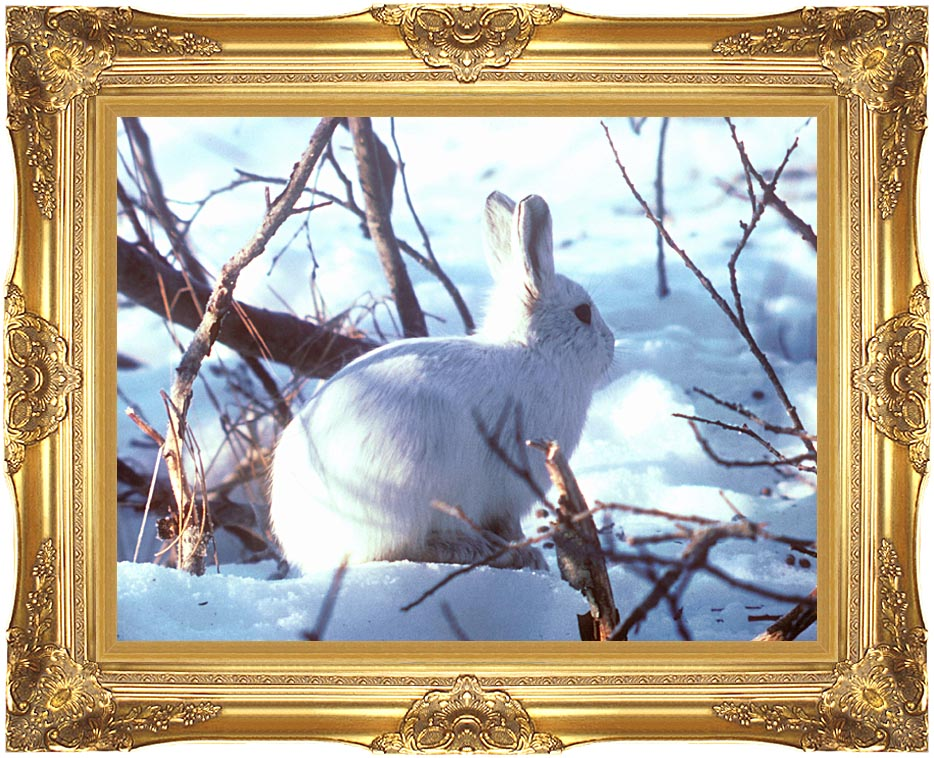 U S Fish and Wildlife Service Artic Hare Rabbit with Majestic Gold Frame