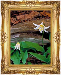 U S Fish And Wildlife Service Glacier Lily canvas with Majestic Gold frame
