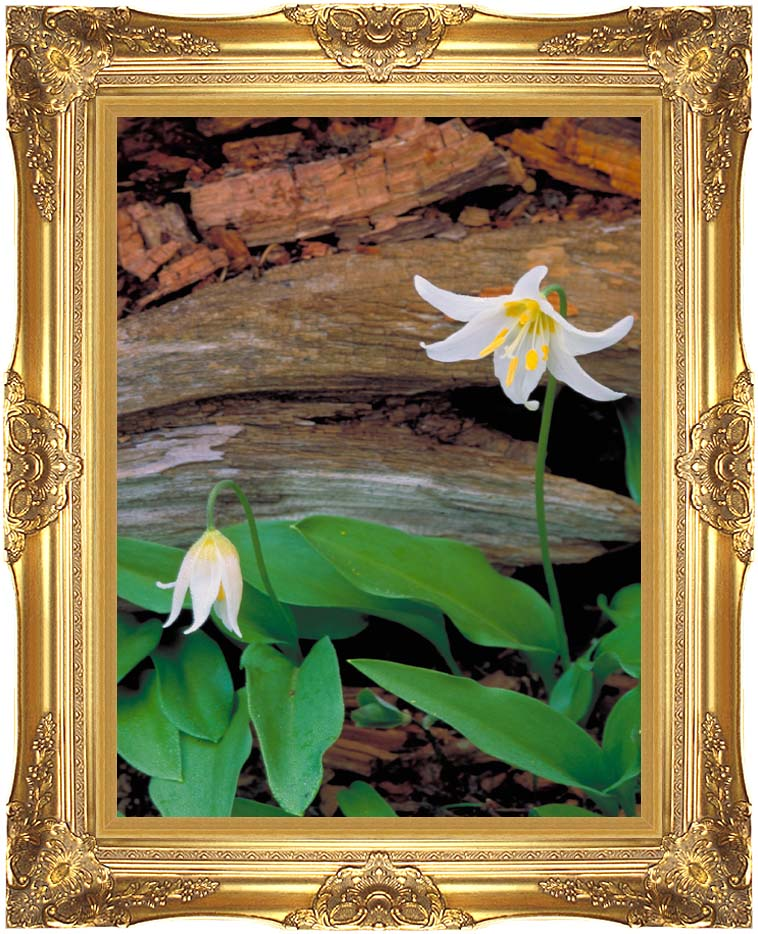 U S Fish and Wildlife Service Glacier Lily with Majestic Gold Frame
