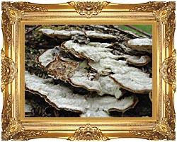 U S Fish And Wildlife Service Gray Shelf Mushrooms canvas with Majestic Gold frame