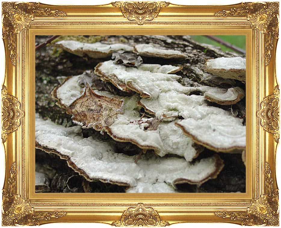 U S Fish and Wildlife Service Gray Shelf Mushrooms with Majestic Gold Frame