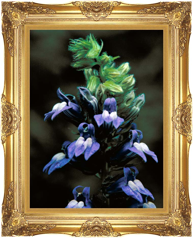 U S Fish and Wildlife Service Great Blue Lobelia with Majestic Gold Frame