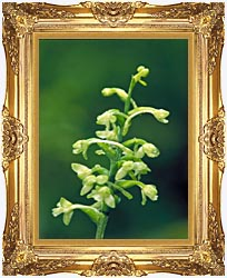 U S Fish And Wildlife Service Green Fringed Orchid canvas with Majestic Gold frame