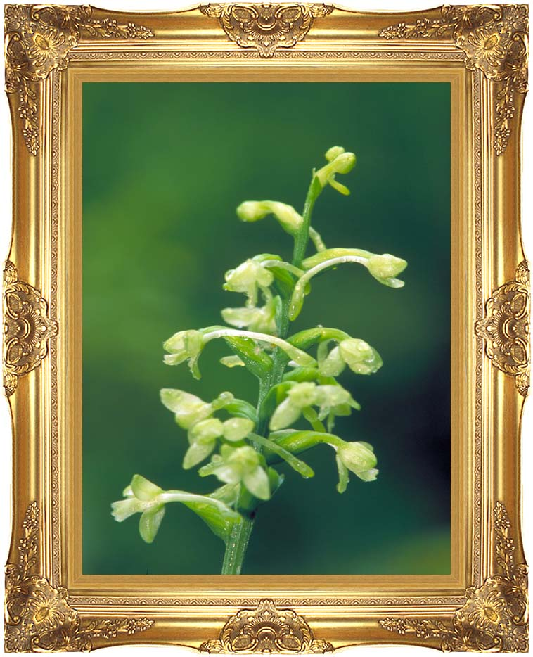 U S Fish and Wildlife Service Green Fringed Orchid with Majestic Gold Frame