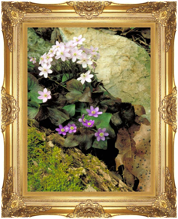 U S Fish and Wildlife Service Hepatica with Majestic Gold Frame