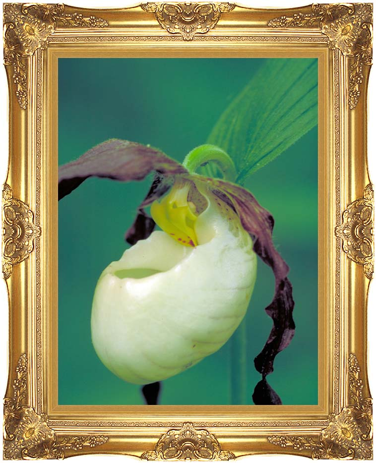 U S Fish and Wildlife Service Lady's Slipper with Majestic Gold Frame