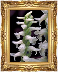 U S Fish And Wildlife Service Nodding Ladies Tresses canvas with Majestic Gold frame