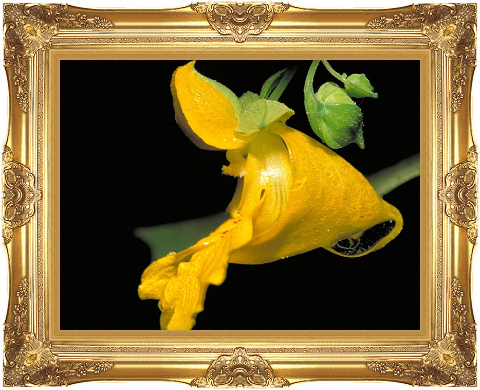 U S Fish and Wildlife Service Pale Jewelweed with Majestic Gold Frame