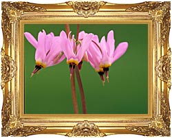 U S Fish And Wildlife Service Pink Shooting Star canvas with Majestic Gold frame
