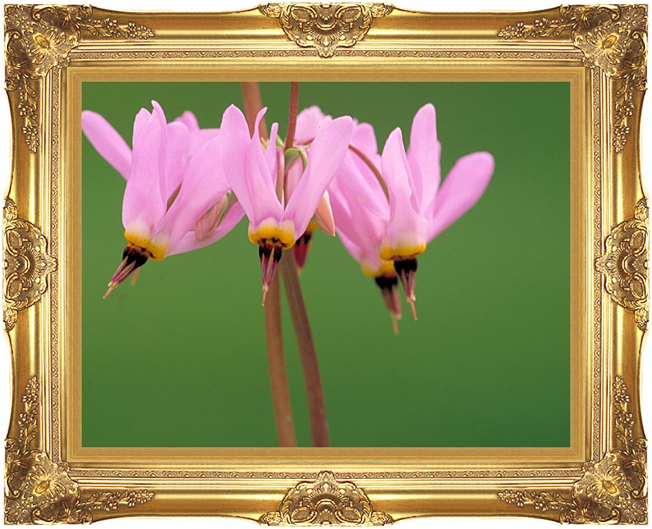 U S Fish and Wildlife Service Pink Shooting Star with Majestic Gold Frame