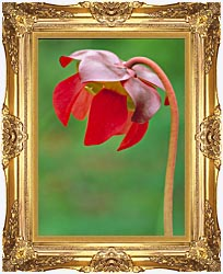 U S Fish And Wildlife Service Pitcher Plant canvas with Majestic Gold frame