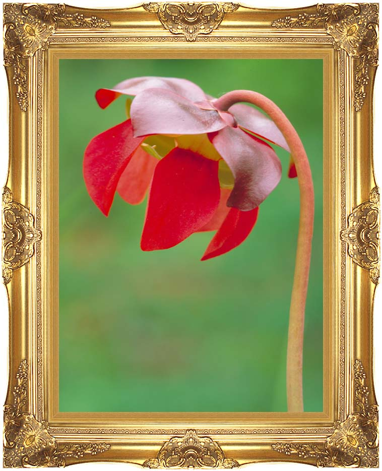 U S Fish and Wildlife Service Pitcher Plant with Majestic Gold Frame