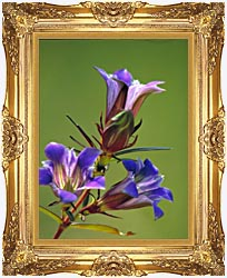 U S Fish And Wildlife Service Prairie Gentian canvas with Majestic Gold frame