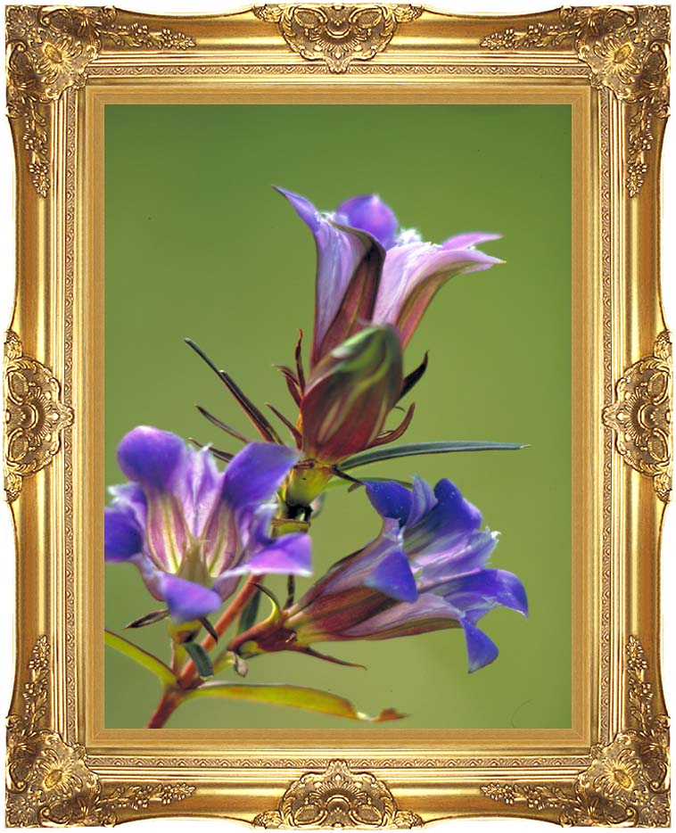 U S Fish and Wildlife Service Prairie Gentian with Majestic Gold Frame