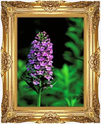 U S Fish And Wildlife Service Purple Fringed Orchid canvas with Majestic Gold frame