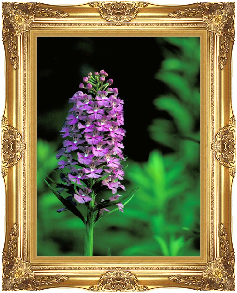 U S Fish and Wildlife Service Purple Fringed Orchid with Majestic Gold Frame