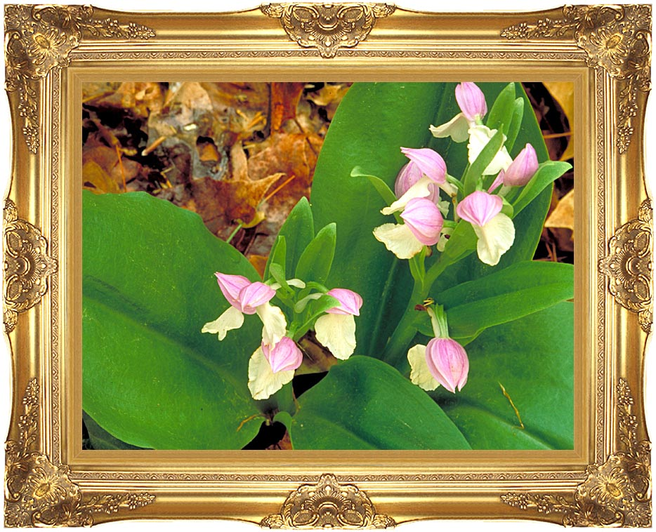 U S Fish and Wildlife Service Showy Orchis with Majestic Gold Frame