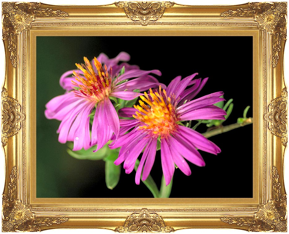 U S Fish and Wildlife Service Silky Aster with Majestic Gold Frame