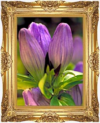 U S Fish And Wildlife Service Soapwort Gentian canvas with Majestic Gold frame