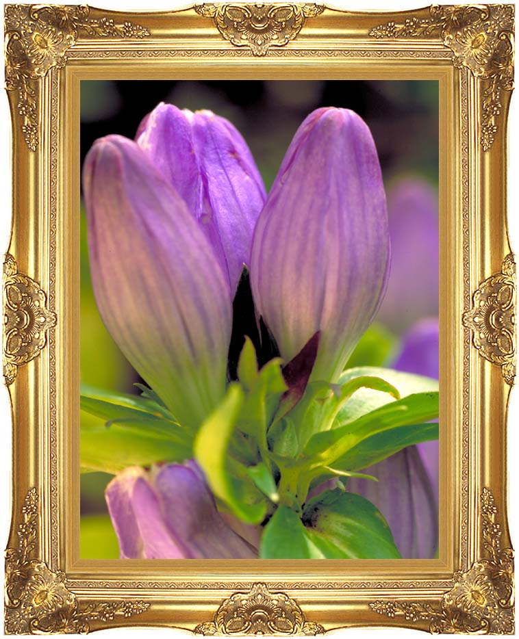 U S Fish and Wildlife Service Soapwort Gentian with Majestic Gold Frame