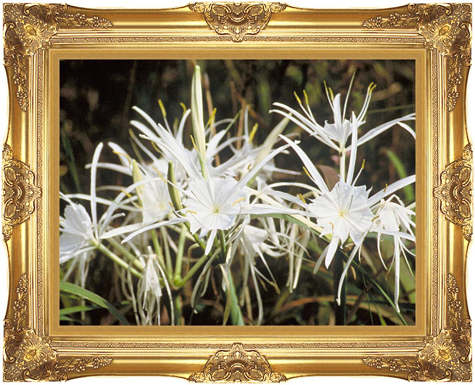 U S Fish and Wildlife Service Spider Lily with Majestic Gold Frame