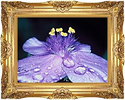 U S Fish And Wildlife Service Spider Wort Flower Art canvas with Majestic Gold frame