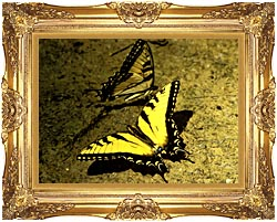 U S Fish And Wildlife Service Tiger Swallowtail Butterfly canvas with Majestic Gold frame