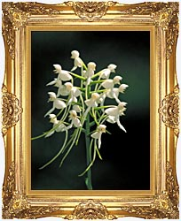 U S Fish And Wildlife Service White Fringeless Orchid canvas with Majestic Gold frame