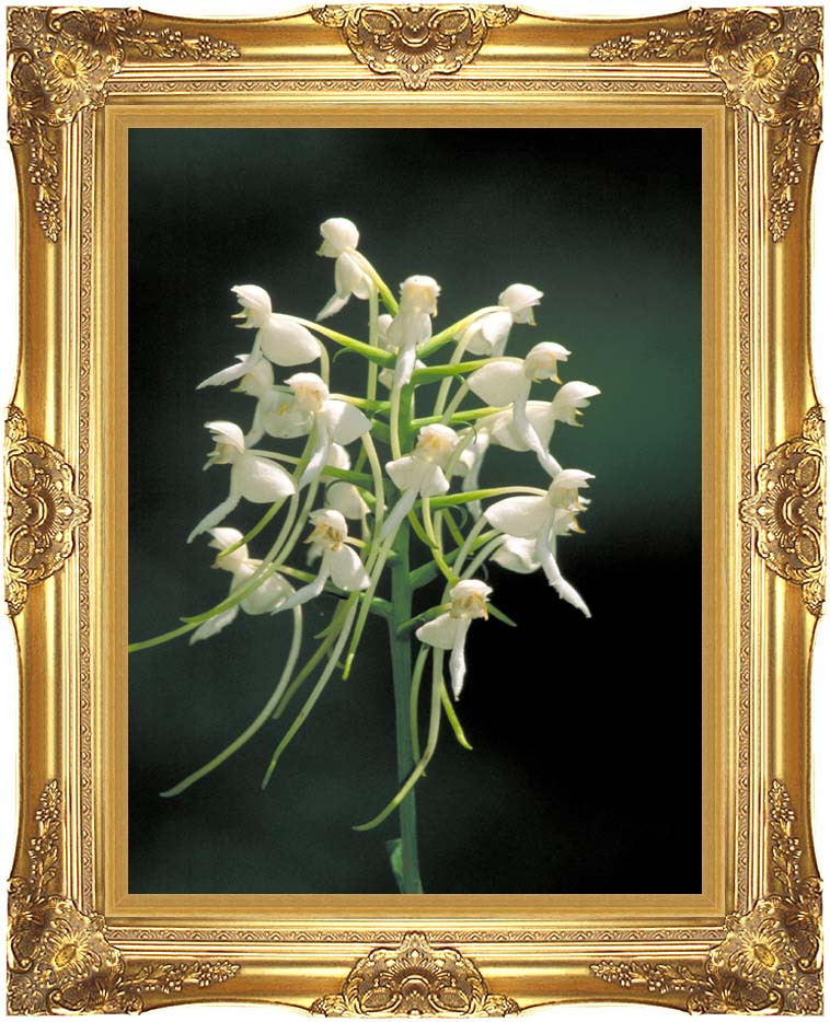 U S Fish and Wildlife Service White Fringeless Orchid with Majestic Gold Frame