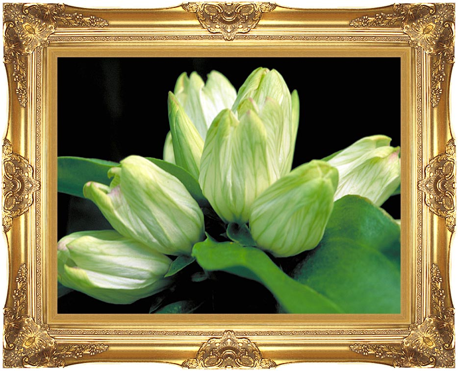 U S Fish and Wildlife Service White Gentian with Majestic Gold Frame