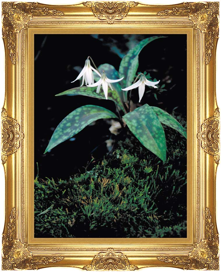 U S Fish and Wildlife Service White Trout Lily with Majestic Gold Frame