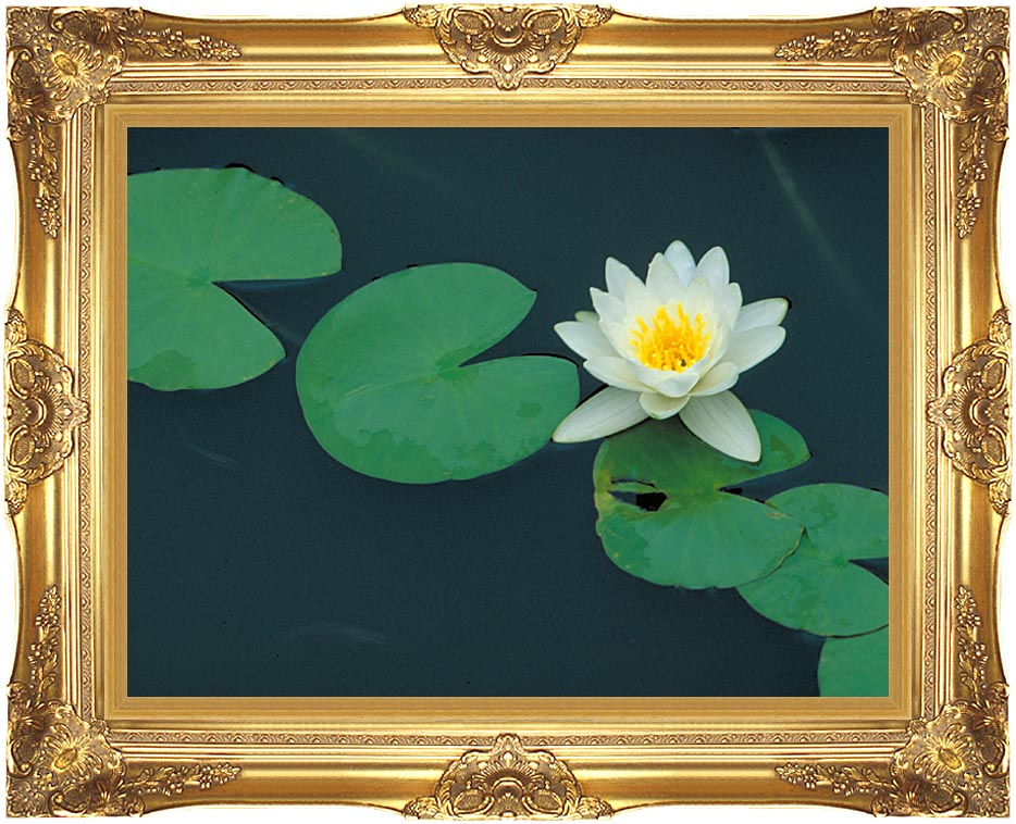 U S Fish and Wildlife Service White Water Lily with Majestic Gold Frame