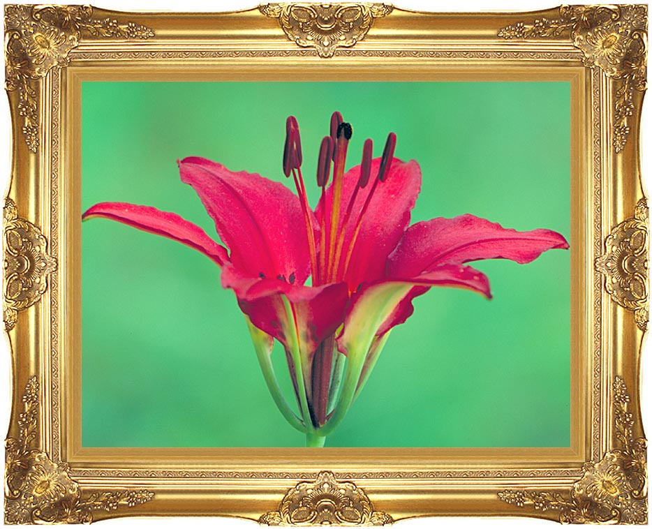U S Fish and Wildlife Service Wood Lily with Majestic Gold Frame