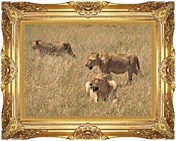U S Fish And Wildlife Service African Lions canvas with Majestic Gold frame