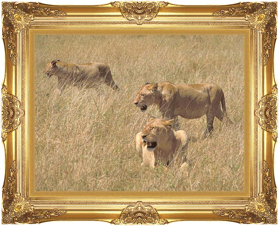 U S Fish and Wildlife Service African Lions with Majestic Gold Frame
