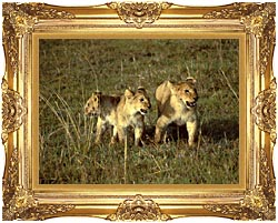 U S Fish And Wildlife Service African Lion Cubs canvas with Majestic Gold frame