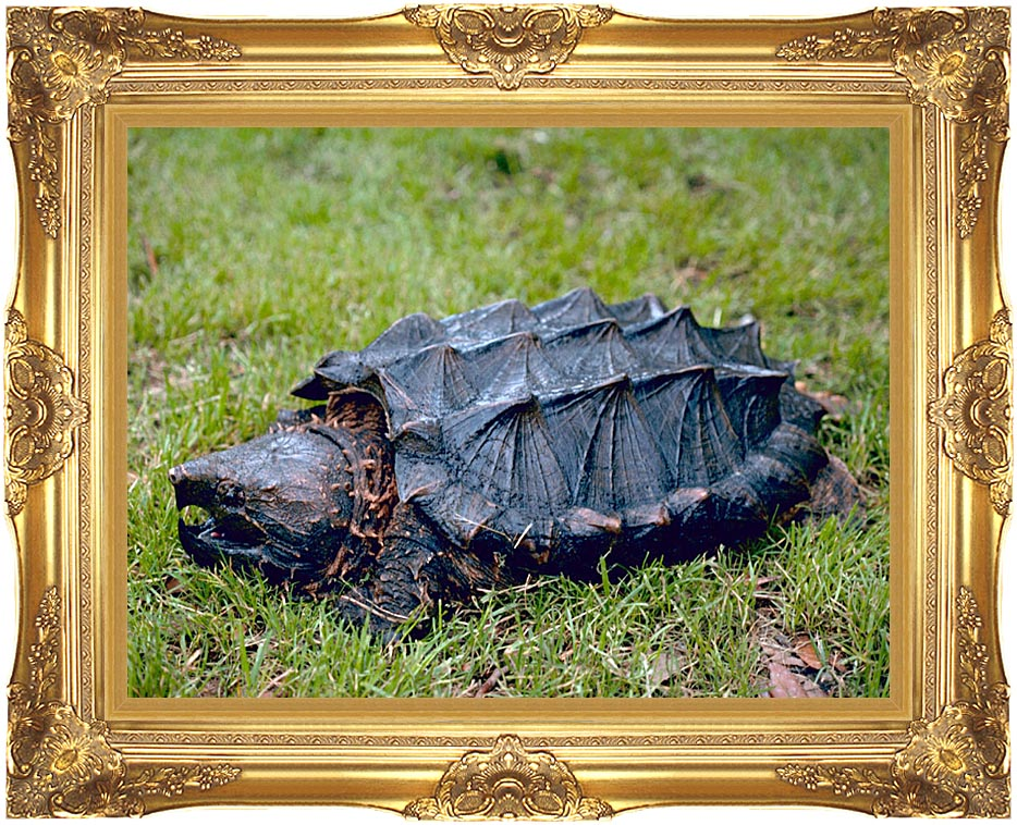 U S Fish and Wildlife Service Alligator Snapping Turtle with Majestic Gold Frame