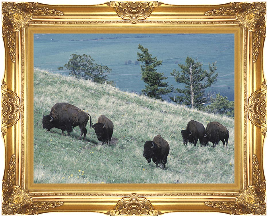 U S Fish and Wildlife Service Rocky Mountain Bison with Majestic Gold Frame