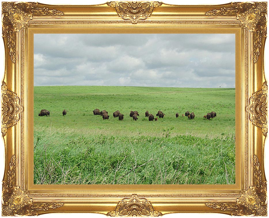 U S Fish and Wildlife Service Bison on the Range with Majestic Gold Frame